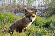 Kit Photos - Red Fox Kit by Olivier Le Queinec