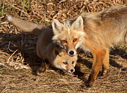 Pups Digital Art - Red Fox vixen with pup on Hecla Island in Manitoba by Mark Duffy