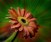 Red Gerber Daisy Print by Bob Mulligan