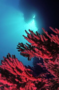 Gorgonian Photos - Red gorgonian sea fan underwater by Sami Sarkis