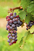 Grape Vines Photo Posters - Red grapes Poster by Elena Elisseeva
