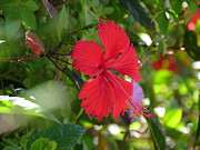 H K - Red Hibiscus...........