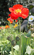 Pistil Prints - Red Iceland Poppy Print by Suzanne Gaff