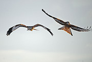 red Kites. Print by Andrew Chittock