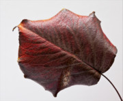 Red Leaf Framed Prints - Red Leaf 4 Framed Print by Robert Ullmann