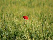 Poppy Field Posters - Red Poppy in field  Poster by Pixel  Chimp