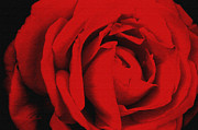 Robert Kernodle Art - Red Rose by Robert G Kernodle
