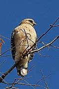 Red-shouldered Hawk Photos - Red Shouldered Hawk by Alan Lenk