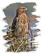 Red-shouldered Hawk Photos - Red-shouldered Hawk by Larry Linton