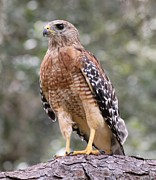 Theresa Willingham Metal Prints - Red Shouldered Hawk Metal Print by Theresa Willingham