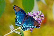 Butterfly Photos - Red Spotted Purple by Road  Mosey