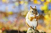 Sitting Photos - Red squirrel by Elena Elisseeva