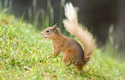 Bushy Tail Photos - Red Squirrel Feeding by Duncan Shaw