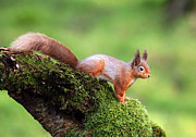 Bushy Tail Photos - Red Squirrel by Grant Glendinning