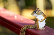 Outdoor Art - Red squirrel on railing by Elena Elisseeva