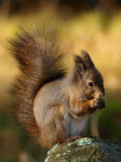 Bushy Tail Originals - Red squirrel by Steen Nielsen
