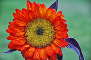 Red Sunflower  Print by Saija  Lehtonen