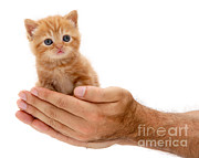 Cats Metal Prints - Red Tabby Kitten Metal Print by Jane Burton