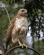 Birds Photos - Red Tail Hawk 2 by Peter Gray