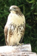 Red Tail Hawk Photographs Posters - Red Tail Hawk Poster by Geralyn Palmer
