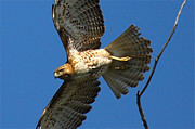 Red Tail Hawk Photographs Posters - Red tail Hawk Poster by Paul Marto