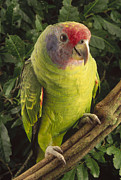Brasiliensis Posters - Red-tailed Amazon Amazona Brasiliensis Poster by Claus Meyer