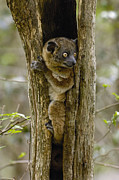 Madagascar National Park Prints - Red-tailed Sportive Lemur Lepilemur Print by Pete Oxford