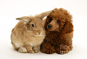Toy Dog Posters - Red Toy Poodle And Rabbit Poster by Mark Taylor
