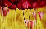 Red Tulips Print by Iris Greenwell