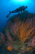 New Britain Posters - Red Whip Fan Coral With Diver, Papua Poster by Steve Jones