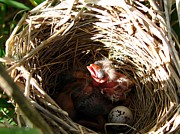 Red-winged Blackbird Babies And Egg Print by J McCombie