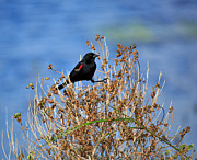 Red-winged Blackbird Framed Prints - Red-winged Blackbird Framed Print by Louise Heusinkveld