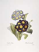 1833 Framed Prints - Redoute: Auricula, 1833 Framed Print by Granger