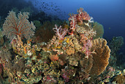 Gorgonian Photos - Reef Scene With Gorgonian Sea Fans by Mathieu Meur