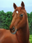 Chestnut Horse Paintings - Retired Racer by Sandra Chase