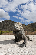 Rhinocerus Art - Rhinoceros Iguana Isla Cabritos by Reinhard Dirscherl