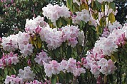 Angiosperms Framed Prints - Rhododendron Flowers Framed Print by Dr Keith Wheeler