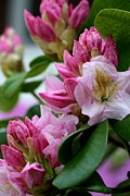 Pink Flowers Pyrography - Rhododendron In Bloom by Valia Bradshaw
