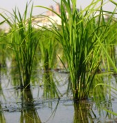 Bushel Photos - Rice Paddy Closeup by Yali Shi