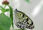 Animals In Gardens Posters - Rice Paper Butterfly Poster by Sabrina L Ryan