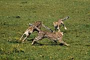 Cheetah Photos - Ring Around the Cheetahs by Michele Burgess