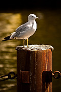 Larus Delawarensis Photos - Ring-billed gull on Pillar by  Onyonet  Photo Studios