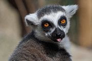 Lemur Catta Framed Prints - Ring Tailed Lemur Framed Print by Julie L Hoddinott