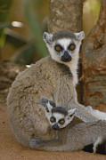 Two Tailed Photos - Ring-tailed Lemur Lemur Catta Mother by Pete Oxford