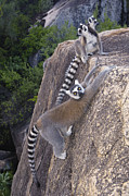 Color Stretching Prints - Ring-tailed Lemur Lemur Catta Trio Print by Pete Oxford