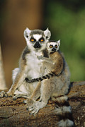 Lemuridae Prints - Ring-tailed Lemur Mother and Baby Print by Cyril Ruoso
