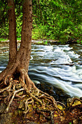 Tree Roots Posters - River through woods Poster by Elena Elisseeva