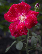 Inspriation Photos - R.L. Stanton Rose Garden by David A Dobbs