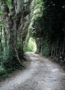 Plane Tree Photos - Road to Noves by Pat Purdy