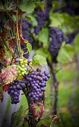 Bunch Of Grapes Framed Prints - Roadside Vineyard Framed Print by Debbie Karnes